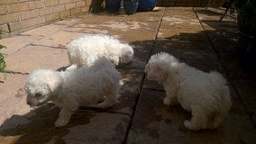 4 Little Bichon Frise Boy Ready Now For Sale in Jacksonville, Florida