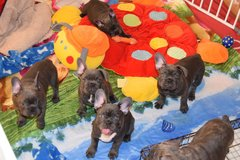 FRENCH BULLDOG PUPPIES in Los Angeles, California