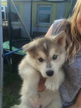 12 weeks old male and female husky puppies!!! in Arlington, Texas