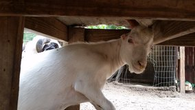 LaMancha Billy Goat 1 Left in Aiken, South Carolina