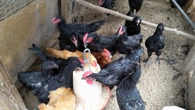Young Roosters (25+) in Aiken, South Carolina