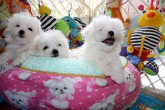 three adorable Maltese puppies ready pure white in St George, Utah