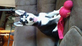 Huskies 4 weeks females avilable in Miramar, California