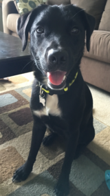 Lost Dog:  Black Lab with white chest, Reward!!! in Kaneohe Bay, Hawaii