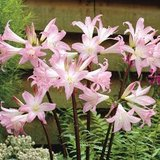 5 -Surprise Lily Bulbs (Naked Ladies) -PINK - Amaryllis Belladonna in DeKalb, Illinois