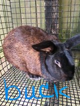 Flemish Giant Rabbits and New Zealands in Camp Lejeune, North Carolina