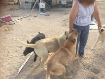 Owner passed away her dogs need homes. in Fort Irwin, California