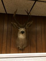 7 point Deer mount in Chicago, Illinois