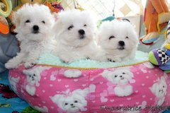 Absolutely Beautiful Maltipoos Puppies ready for good homes in Phoenix, Arizona