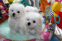 Wonderful Fluffy Maltese Puppies ready for a good and loving home for them first to pick in West Orange, New Jersey