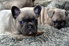 French Bull Dog puppies ready for a new home Call/Text   +(502)-414-3995 in Pearl Harbor, Hawaii