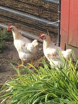 Free roosters in Camp Lejeune, North Carolina