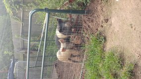 Hampshire/ blue butt pigs in Houston, Texas