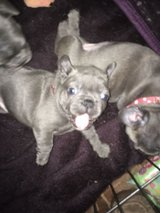 Lovely Male and Female Blue and Black French Bulldog Puppies For Sale. in Miramar, California