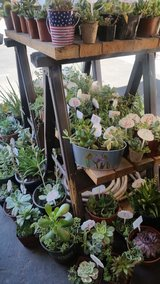 Healthy Succulents at lower prices in Temecula, California