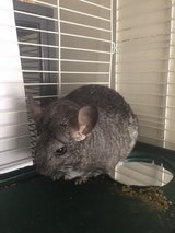 Exotic Chinchilla with Huge Cage in Alamogordo, New Mexico