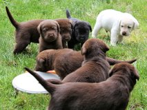 Stunning Kc Reg Chocolate & Yellow,Black Puppies in Cannon AFB, New Mexico