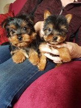 Boy/Girl Yorkshire Terriers for sale, in Sioux City, Iowa
