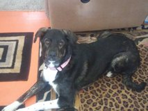Female trained dog 1 years old very great companion I HAVE TO MOVE AND CANT TAKE HER in Yucca Valley, California