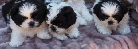 Pedigree furry male and female Shih Tzu Puppies in Toms River, New Jersey