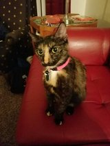 Pretty Tortie cat in need of new home in Oklahoma City, Oklahoma