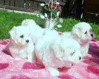 Two Teacup Maltese Puppies Needs a New Family in Grand Rapids, Minnesota