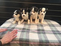 Sweet Siberian Husky Puppies - in Ottumwa, Iowa