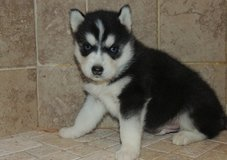 Sweet Siberian Husky Puppies - 250.00 US$ in Ottumwa, Iowa