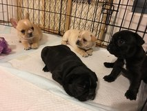 lovely playful French bulldog Puppies in Mayport Naval Station, Florida
