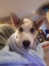 Reluctant rehome Of 11 Week Old Siberian Husky in Temecula, California
