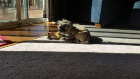3yo Brussels Griffon Mix in need of a good home in Fort Carson, Colorado