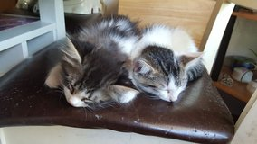 Kittens in Fort Lewis, Washington