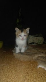 Maine coon mix kittens for sale. in Ramstein, Germany