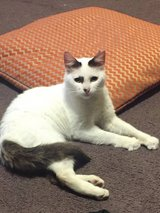 Snow the cat needs a home in Okinawa, Japan