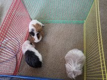Guinea Pigs in Converse, Texas