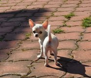 Full blooded Chihuahua puppies in Cleveland, Ohio