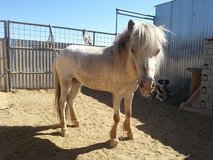 Miniature Horse Stud in Yucca Valley, California