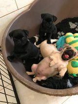Healthy pug puppies in Bolling AFB, DC