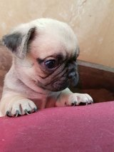 pug puppies for new home in Camp Humphreys, South Korea