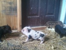 """Mini pigs """"sale"""" in Fort Campbell, Kentucky"""