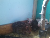 mini pig male in Fort Campbell, Kentucky