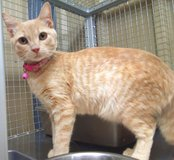 Stray young cat, orange tabby, currently at Fort Irwin Animal Control in Fort Irwin, California