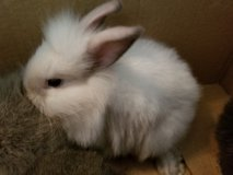 lion head baby rabbits in Clarksville, Tennessee