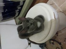 My friend has two free kittens to a good home in Hopkinsville, Kentucky