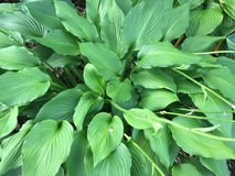 Large Solid Green Hostas in Schaumburg, Illinois