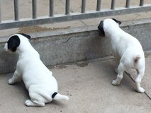 Quality Jack Russell Puppies.(985) 250-0933 in Birmingham, Alabama