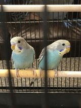 Parakeets with cage in Byron, Georgia
