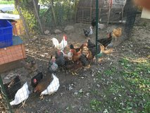 LAYING HENS OF ALL KINDS in Tinley Park, Illinois