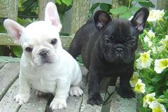 French bulldog puppies READY FOR NEW HOME .... in Birmingham, Alabama