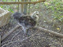 Silkie Roo in Clarksville, Tennessee